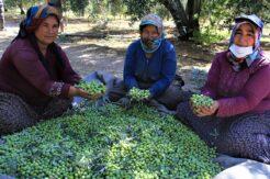 Mut zeytinyağı Avrupa'ya ihraç ediliyor