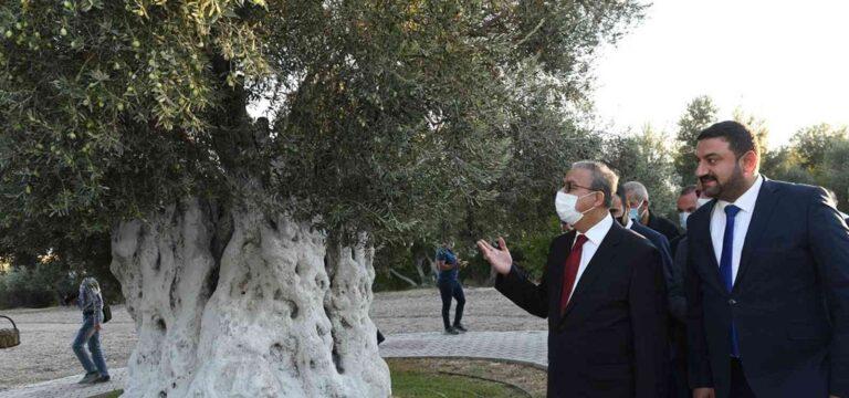 Vali Su anıt zeytin ağacında hasada katıldı